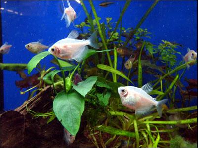 Neu Aquarium, Fische, Pflanzen, Futter, Beleuchtung, einrichten  GL42