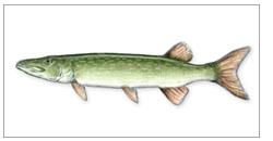 beschreibung von fischen
