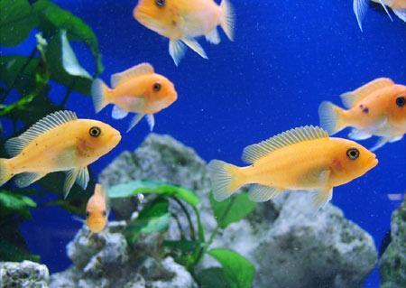 aquarienfische-barsche-201106010019171.jpg