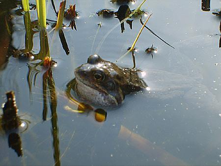 fruehling-frosch-teich-201203240152431.jpg
