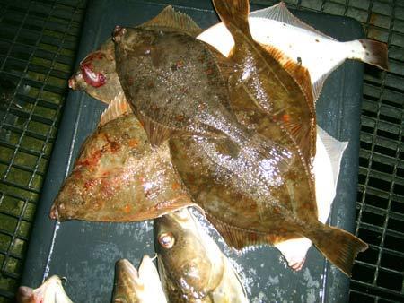 plattfischangeln-ausruestun-201008260252564.jpg